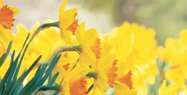 Could Daffodils Soon Be a Natural Cure For Cancer? | The Good News