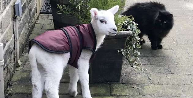 Baaaarking mad! Lamb saved from slaughterhouse lives life as
